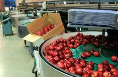 Pommes rouges dans le baquet d'emballage Photos libres de droits
