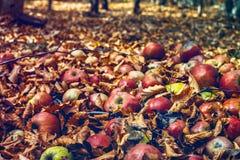 Pommes rouges dans le feuillage de la forêt photo libre de droits