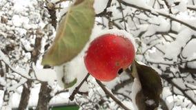 Pommes rouges dans le jardin sur un arbre couvert de neige contre Apple en hiver avec la neige photographie stock libre de droits