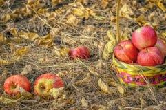 Pommes rouges dans un panier dans le jardin, automne photo libre de droits
