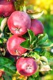 Pommes rouges et juteuses mûres images libres de droits