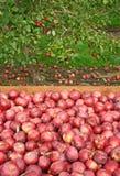 Pommes rouges frais sélectionnées dans un cadre en bois Photo stock