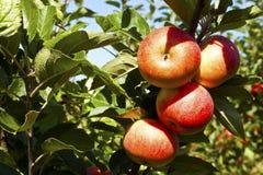 Pommes rouges mûres sur un arbre Images libres de droits