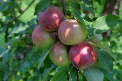 Pommes rouges organiques fraîches sur une branche Images stock