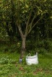 Pommes rouges sous un pommier avec le sac image stock