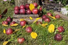 Pommes rouges sur l'herbe dans le jardin Image stock