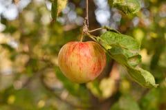 Pommes rouges sur la branche de pommier Photographie stock libre de droits