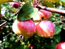 Pommes rouges sur un branchement photos libres de droits