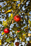 Pommes rouges vers la fin d'été Images libres de droits