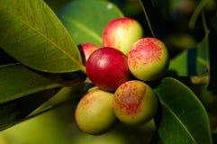 Pommes s'élevant sur l'arbre Photographie stock