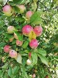 Pommes s'élevant sur le prêt prêt d'arbre pour la récolte image libre de droits
