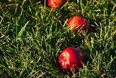 Pommes s'étendant dans l'herbe Photo stock