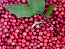 Pommes sauvages d'automne Image libre de droits