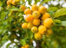 Pommes sauvages jaunes à une branche Photographie stock libre de droits