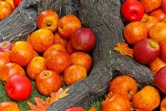 Pommes sous l'arbre Photo stock