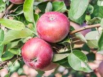 Pommes spartiates mûres sur l'arbre Images libres de droits