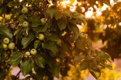 Pommes sur branches dans un jardin pendant le coucher du soleil photos stock