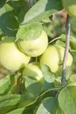 Pommes sur l'arbre Photos libres de droits