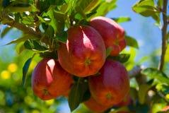 Pommes sur l'arbre Photographie stock