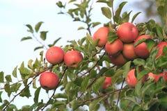Pommes sur l'arbre Photographie stock libre de droits