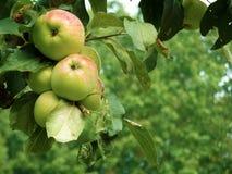 Pommes sur l'arbre Photo libre de droits