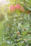 Pommes sur l'arbre dans le champ de pommiers Image stock