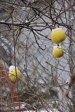 Pommes sur l'arbre et la première neige images libres de droits