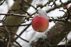 Pommes sur l'arbre et la première neige photo libre de droits