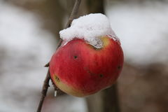 Pommes sur l'arbre et la première neige photos stock