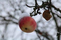 Pommes sur l'arbre et la première neige photographie stock