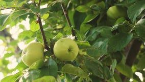 Pommes sur l'arbre Plan rapproch? Pommes vertes sur la branche les belles pommes m?rissent sur l'arbre Affaires agricoles banque de vidéos