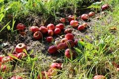 Pommes sur l'herbe Image libre de droits