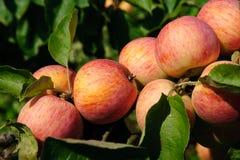 Pommes sur la branche Photos libres de droits