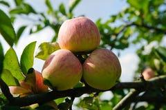 Pommes sur la branche Photo stock