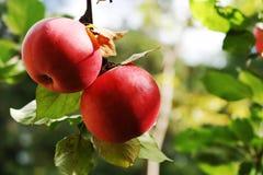 Pommes sur le branchement. Photographie stock