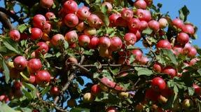 Pommes sur le pommier photo libre de droits