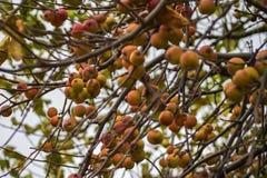 Pommes sur les branches Images stock