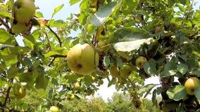 Pommes sur un arbre banque de vidéos