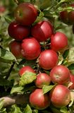 Pommes sur un arbre Image libre de droits