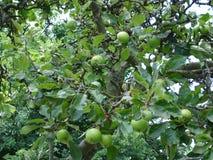 Pommes sur un arbre photographie stock libre de droits