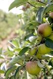 Pommes sur un arbre Images stock