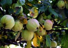 Pommes sur un arbre Images libres de droits