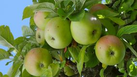 Pommes sur un pommier banque de vidéos