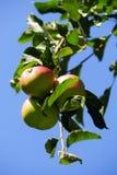 Pommes sur un pommier images stock