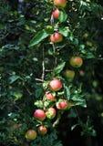 Pommes sur un pommier photographie stock