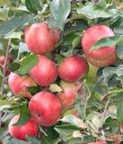 Pommes sur une branche Images libres de droits