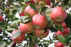 Pommes sur une branche Image libre de droits