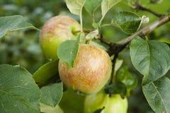 pommes vert rouge accrochant sur un arbre Photos libres de droits