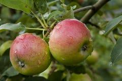 pommes vert rouge accrochant sur un arbre Images stock