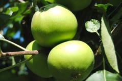 Pommes vertes photographie stock libre de droits